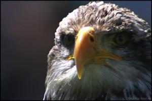 Adler mit unserem Omegon 80mm Spektiv