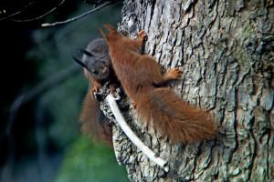 Spielende Eichhörnchen, Fotograf Ingo Strauch