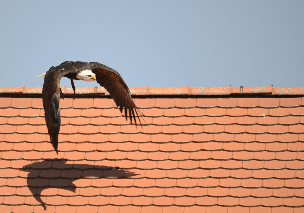 Amerk. Weißkopfseeadler über den Dächern des Fürstenfeld